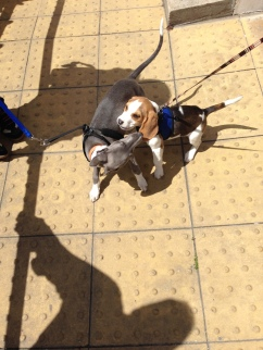 Getting ready for a play in the sunshine before puppy class!
